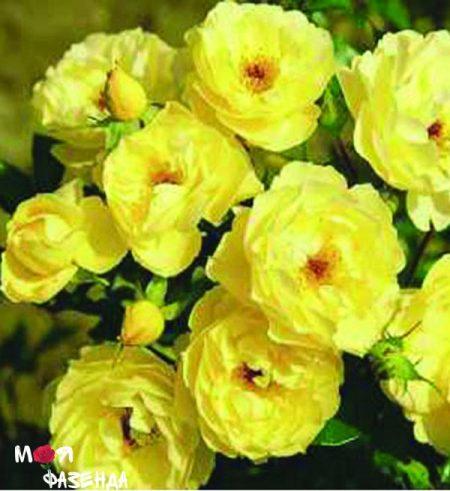 Зонненшарм роза