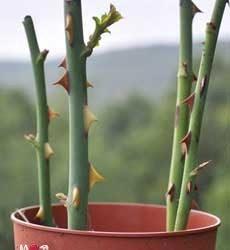 Выращивание розы черенками