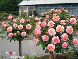 Штамб розы