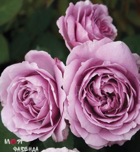 lavender-ice